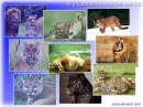 Big Cats Screensaver