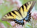 Butterflies of North America Screen Saver and Wallpaper