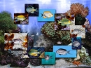 FP :: Amazing 3D Aquarium ADD-on  :: Genicanthus Fish Pack