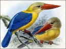Kingfishers and Kookaburras Screensaver