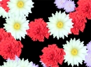 FD Blossoming Flowers Screensaver