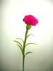 Carnation Flower Screensaver
