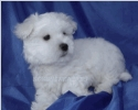 Maltese Puppy Training - Puzzle
