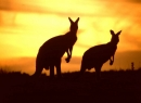 Kangaroo Screensaver
