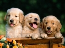 Puppies Screensaver