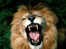 Salvapantallas de Leones Feroces (Ferocious Lion  Screensavers)