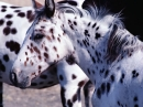 Appaloosa Horse Screensavers