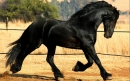 Friesian Horse Screensavers
