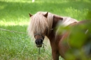Haflinger Horse Screensavers