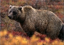 CCB Grizzly Bear Puzzle