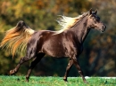 American Saddlebred Horse Screensavers
