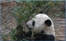 China Panda Puzzle