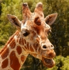 WTFH Giraffe Puzzle