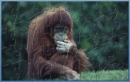 BPC Orangutan Puzzle