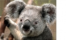 koala puzzle