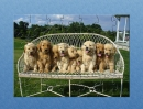 GRP Golden Retriever Puppies