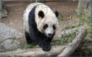 PH Panda Jigsaw Puzzle