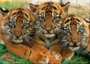 SMK Cute Tiger Cubs Puzzle
