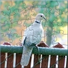 white pigeon puzzle